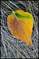 Close-up of Frosted aspen leaf. Yosemite National Park, California, USA. (color)