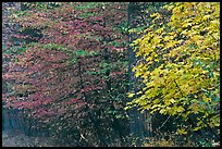 Dogwood and bigleaf Maple in autumn foliage. Yosemite National Park ( color)