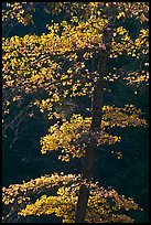 Backlit tree with autum leaves. Yosemite National Park, California, USA.