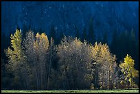 Trees with sparse autumn leaves, Sentinel Meadow. Yosemite National Park ( color)