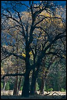 Oaks and sparse autum leaves, El Capitan Meadow. Yosemite National Park, California, USA.
