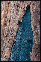 Bark detail of oldest tree in Mariposa Grove. Yosemite National Park ( color)