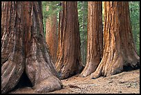 Sequoias called Bachelor and three graces, Mariposa Grove. Yosemite National Park ( color)