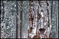 Giant Sequoia plastered with snow, Tuolumne Grove. Yosemite National Park ( color)