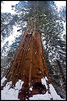 Giant sequoia seen from the base with fresh snow, Tuolumne Grove. Yosemite National Park ( color)