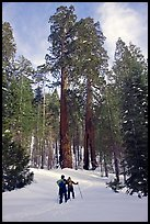 Skiing towards the Clothespin tree, Mariposa Grove. Yosemite National Park ( color)