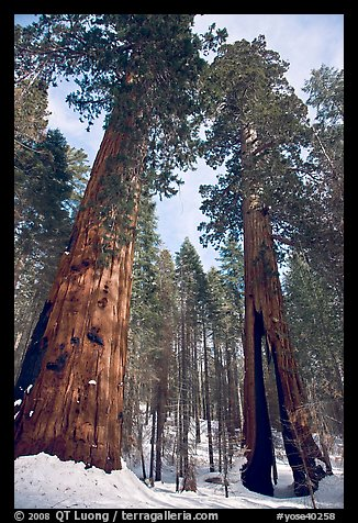 Two giant sequoia trees, one with a large opening in trunk, Mariposa Grove. Yosemite National Park, California, USA.