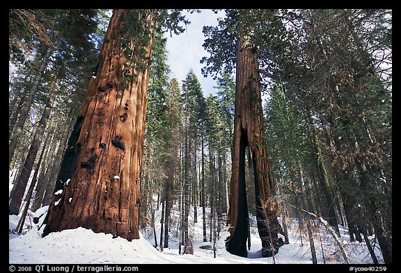 Mariposa Grove of Giant sequoias in winter with Clothespin Tree. Yosemite National Park, California, USA.