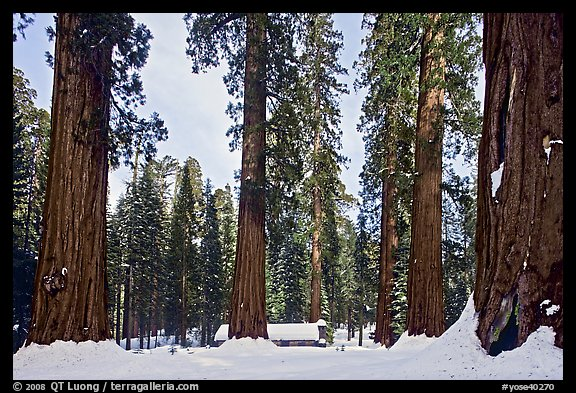 Giant sequoias, Upper Mariposa Grove, Museum, and snow. Yosemite National Park, California, USA.