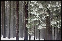 Snowy forest in fog, Chinquapin. Yosemite National Park ( color)