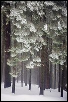 Forest with snow, Chinquapin. Yosemite National Park, California, USA.