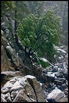 Rocks and tree with fresh snow, Wawona. Yosemite National Park ( color)