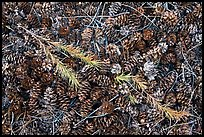 Close-up of pine cones and needles. Yosemite National Park ( color)