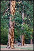 Lodgepole pines. Yosemite National Park ( color)