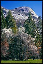 Apple tree in bloom and North Dome. Yosemite National Park, California, USA. (color)