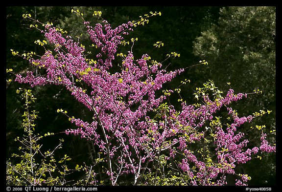 Redbud tree in bloom, Lower Merced Canyon. Yosemite National Park (color)