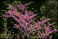 Redbud tree in bloom, Lower Merced Canyon. Yosemite National Park, California, USA.