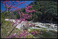 Redbud in bloom and Merced River, Lower Merced Canyon. Yosemite National Park, California, USA.