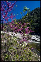 Redbud tree and Merced River, Lower Merced Canyon. Yosemite National Park, California, USA.