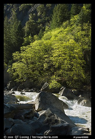 Tree recently leafed out and Merced River. Yosemite National Park (color)