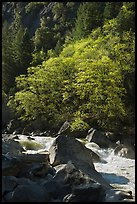 Tree recently leafed out and Merced River. Yosemite National Park ( color)
