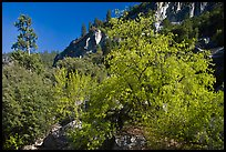 Tree in cliffs, early spring, Lower Merced Canyon. Yosemite National Park ( color)
