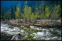 Newly leafed trees on island and Merced River, Lower Merced Canyon. Yosemite National Park ( color)
