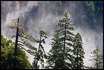 Trees and mist from Bridalveil falls. Yosemite National Park ( color)