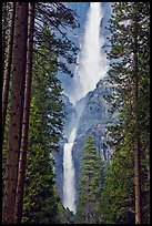 Upper and Lower Yosemite Falls framed by pine trees. Yosemite National Park ( color)