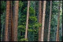 Pine forest. Yosemite National Park ( color)