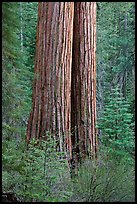 Twin sequoia truncs in the spring, Tuolumne Grove. Yosemite National Park ( color)