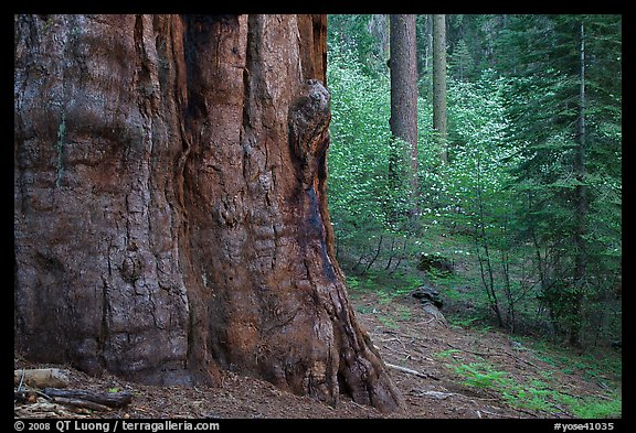 Base of giant sequoia, pines, and dogwoods, Tuolumne Grove. Yosemite National Park, California, USA.
