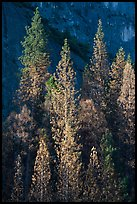 Pines with yellowed leaves and cliff. Yosemite National Park ( color)