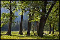 Black oaks in the Spring, El Capitan Meadow. Yosemite National Park, California, USA.