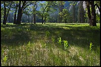New ferns, grasses,  and oak trees, El Capitan Meadow. Yosemite National Park, California, USA.