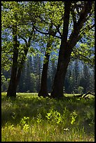 Oak trees in spring, El Capitan Meadow. Yosemite National Park, California, USA.
