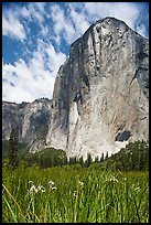 Wild irises and El Capitan. Yosemite National Park, California, USA.