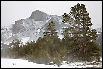 Trees and peak with fresh snow, Tioga Pass. Yosemite National Park ( color)