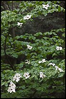 Dogwood tree branches with flowers. Yosemite National Park, California, USA.