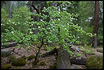 Dogwood tree and mossy boulders in spring, Happy Isles. Yosemite National Park ( color)