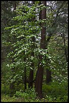 Tall dogwood tree, Happy Isles. Yosemite National Park ( color)