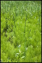 Horsetail grass (Equisetum arvense) near Happy Isles. Yosemite National Park ( color)