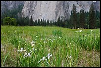 Iris and Cathedral Rocks, El Capitan Meadow. Yosemite National Park, California, USA.