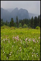 Wildflowers in Cook Meadow and Cathedral Rocks in storm. Yosemite National Park ( color)