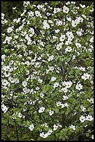 Close up of Pacific Dogwood. Yosemite National Park ( color)