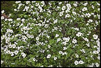 Pacific Dogwood flowers. Yosemite National Park ( color)