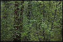 Curtain of recent Dogwood leaves and flowers in forest. Yosemite National Park ( color)