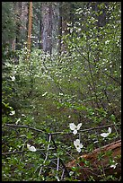 Forest with dogwoods in bloom near Crane Flat. Yosemite National Park ( color)
