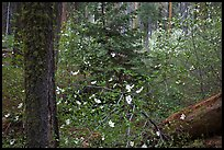 Spring Forest with white dogwood blossoms. Yosemite National Park ( color)