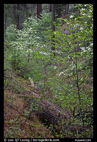 Ravine in spring with blooming dogwoods near Crane Flat. Yosemite National Park (color)
